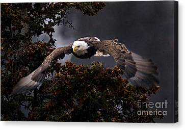 Approaching Eagle-signed- Canvas Print