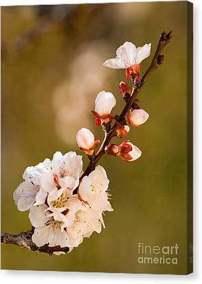 Apricot Blossom At Sunrise Canvas Print