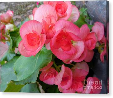 Apricot Colored Begonias - The Color Of Coral Canvas Print by Eloise Schneider
