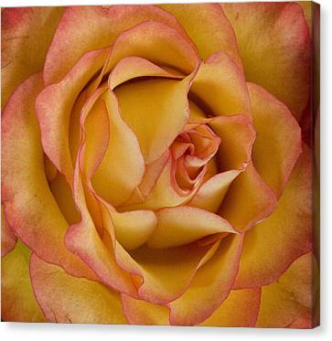 Apricot Rose Canvas Print by Michael Friedman