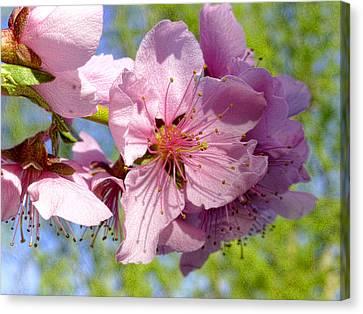 April Peach Blossoms Canvas Print