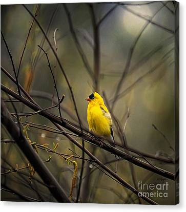 Finch Canvas Print - April Showers In Square Format by Lois Bryan