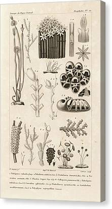 Aquatic Invertebrates Canvas Print by King's College London