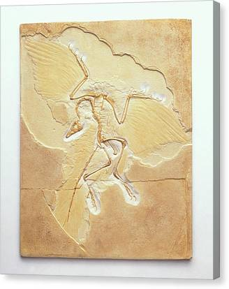 Archaeopteryx Fossil Canvas Print by Dorling Kindersley/uig