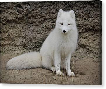 Arctic Fox Canvas Print by Athena Mckinzie