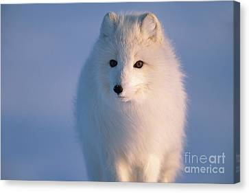 Arctic Fox North Slope Alaska Canvas Print by Yva Momatiuk and John Eastcott