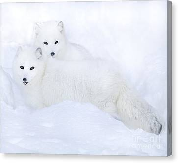 Arctic Foxes In The Snow Canvas Print