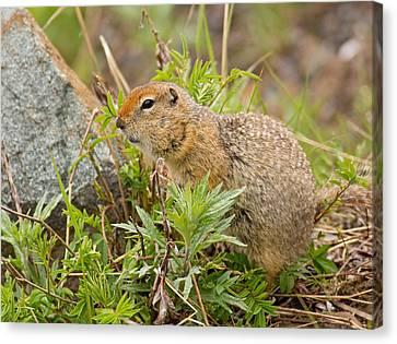 Arctic Ground Squirrel Canvas Print