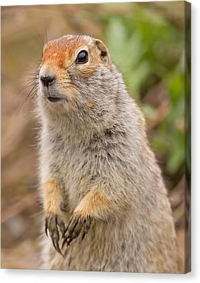 Arctic Ground Squirrel Close-up Canvas Print