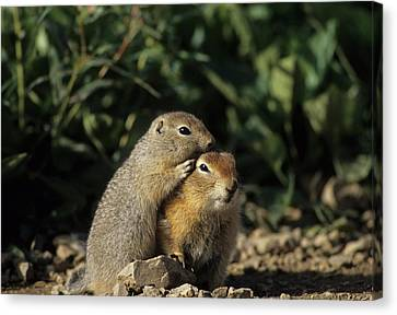Gerry Canvas Print - Arctic Ground Squirrel, Denali National by Gerry Reynolds