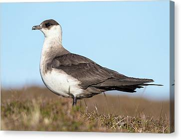 Arctic Skua Or Parasitic Jaeger Or Canvas Print by Martin Zwick