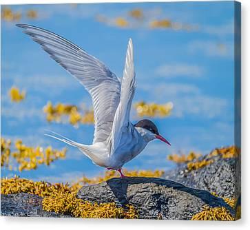 Arctic Tern Sterna Paradisaea, Flatey Canvas Print