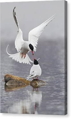 Arctic Terns, Courtship Canvas Print by Ken Archer