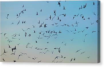 Arctic Terns Flying, Reykjavik, Iceland Canvas Print