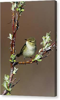 Warbler Canvas Print - Arctic Warbler by Ken Archer