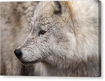Arctic Wolf Canvas Print by Eunice Gibb
