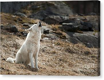 Canvas Print featuring the photograph Arctic Wolf Howling by Wolves Only