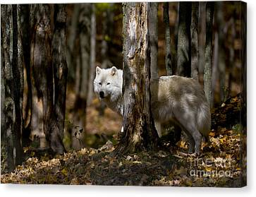 Canvas Print featuring the photograph Arctic Wolf In Forest by Wolves Only
