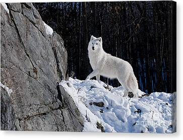 Canvas Print featuring the photograph Arctic Wolf On Rock Cliff by Wolves Only