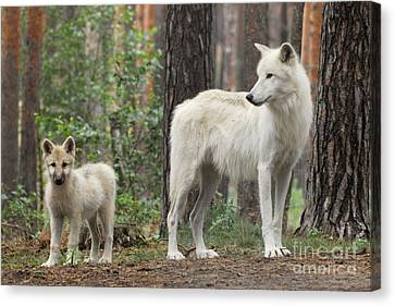 Arctic Wolf With Pup, Canis Lupus Albus Canvas Print by Stefan Meyers