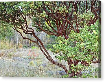 Canvas Print featuring the photograph Arctostaphylos Hybrid by Kate Brown