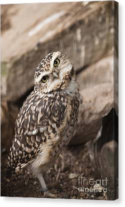 Are You Looking At Me? Canvas Print by Anne Gilbert