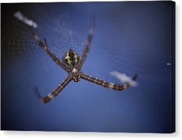 Argiope Spider Canvas Print by Arj Munoz