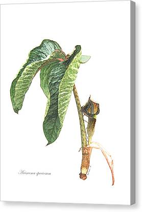 Arisaema Speciosum Canvas Print