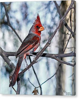 Arizona Cardinal Canvas Print by Elaine Malott