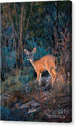 Arizona Deer Sunset Canvas Print by Henry Kowalski