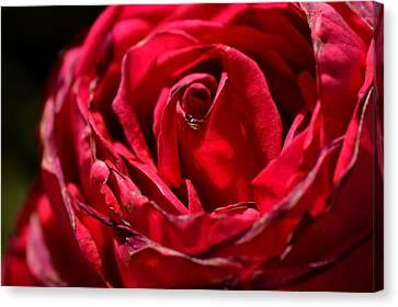 Arizona Rose I Canvas Print