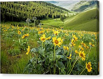 Canvas Print featuring the photograph Arrow Leaf Balsam Root by Jack Bell