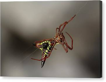 Arrow-shaped Micrathena Spider Starting A Web Canvas Print by Daniel Reed