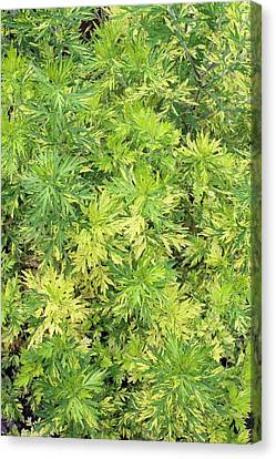 Artemisia Vulgaris 'oriental Limelight' Canvas Print