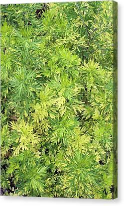Artemisia Vulgaris 'oriental Limelight' Canvas Print by Geoff Kidd