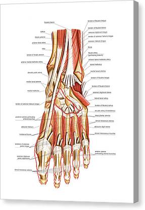 Arteries Canvas Print - Arterial System Of The Foot by Asklepios Medical Atlas