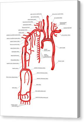 Arteries Canvas Print - Arterial System Of The Upper Body by Asklepios Medical Atlas