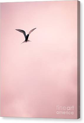 Canvas Print featuring the photograph Artic Tern High In The Sky by Peta Thames