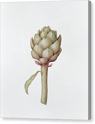 Artichoke Canvas Print by Diana Everett