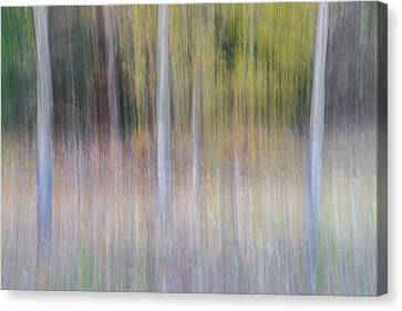 Redwoods Canvas Print - Artistic Birch Trees by Larry Marshall