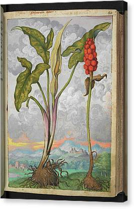 Arum Italicum Canvas Print by British Library