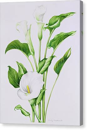 Arum Lily Canvas Print by Sally Crosthwaite