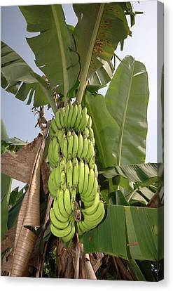 Asia, Vietnam Green Bananas Canvas Print by Kevin Oke