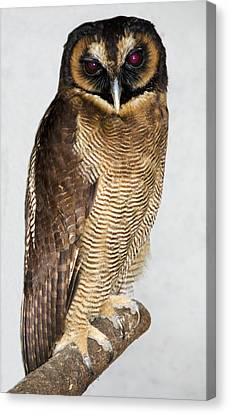 Asian Brown Wood Owl Canvas Print by Nigel Downer