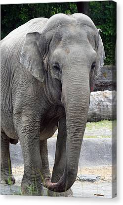Canvas Print featuring the photograph Asian Elephant by Bob Noble Photography