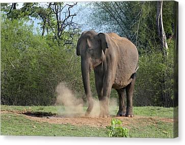 Asian Elephant Dust Bathing Canvas Print