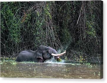 Asian Elephant Feeding In A River Canvas Print