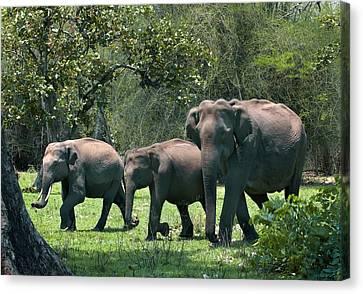 Asian Elephant Group Canvas Print by K Jayaram