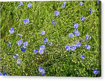 Asian Flax (linum Austriacum) In Flower Canvas Print by Bob Gibbons