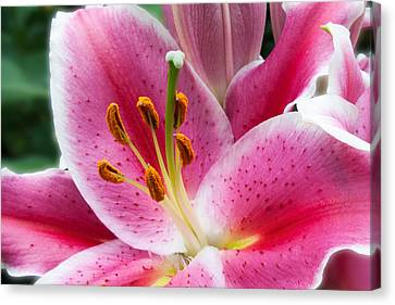 Asian Lily Canvas Print by Michael Porchik